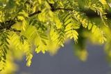 Kann die Robinie eine Rolle im klimagerechten Waldbau in Bayern spielen?